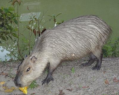 A capybara in the Amazon