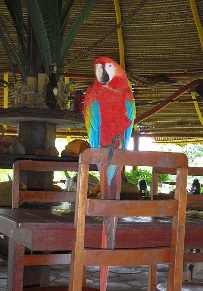 Scarlet macaw at the Amazon lodge.