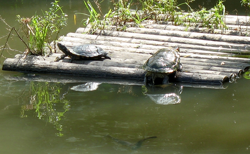 Two turtles on log raft in the Sungei Buloh Wetland Reserve