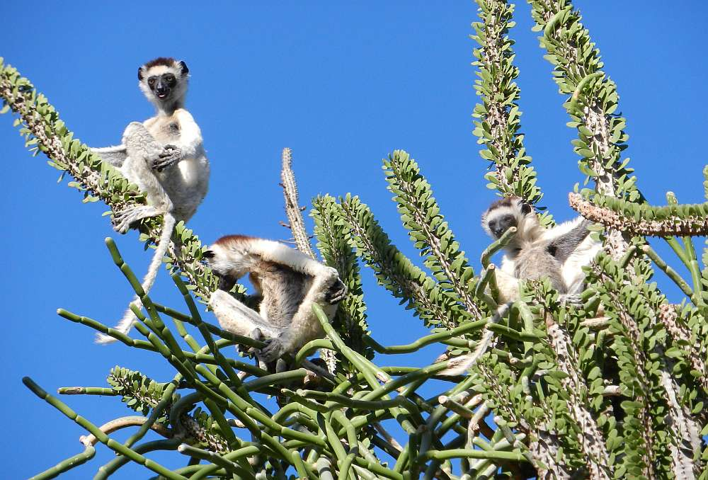 Verreaux's sifakas in the spiny forest of Madagascar.