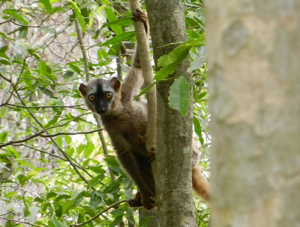 Brown lemur in a tree.