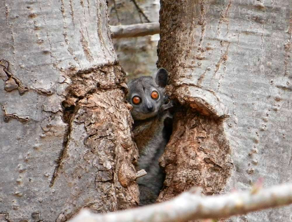 A sportive lemur in a tree.