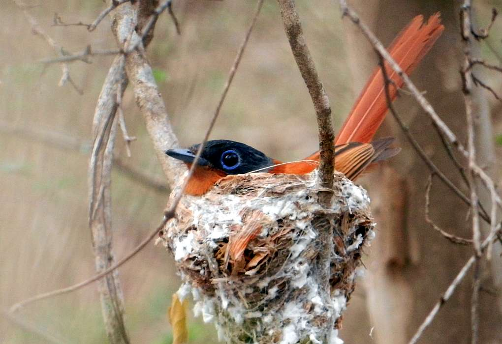 Paradise flycatcher on a nest