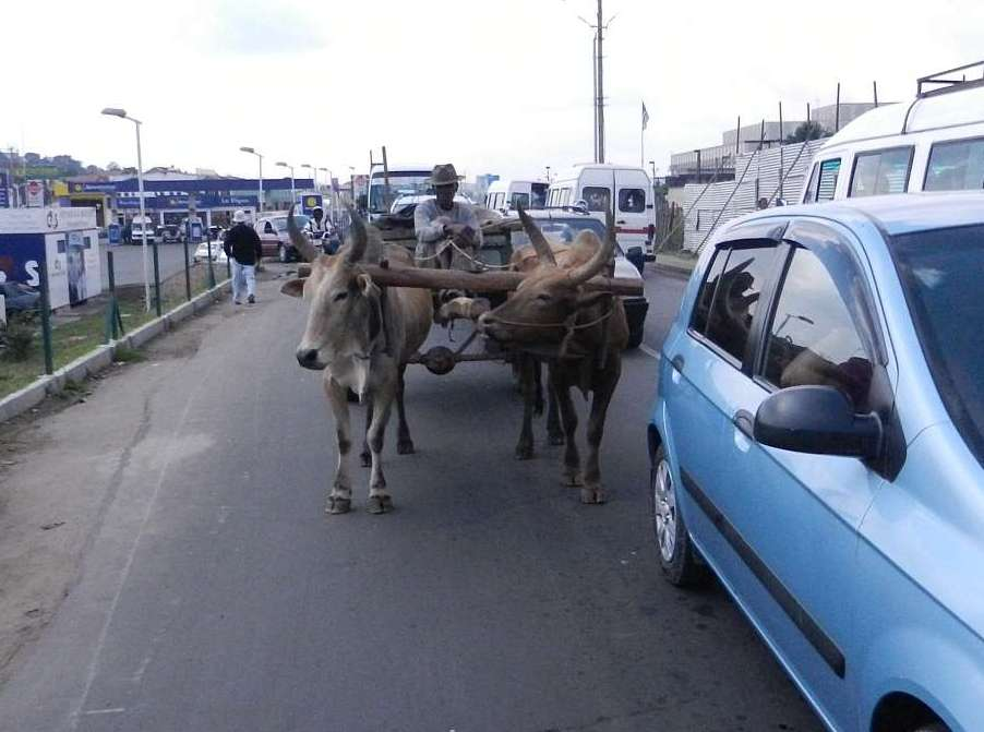 Man with zebu ox cart in automobile traffic