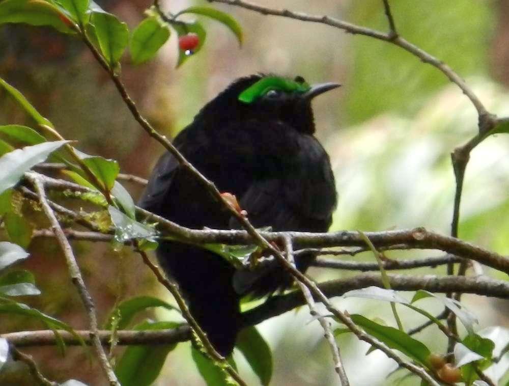 Velvet Asity bird