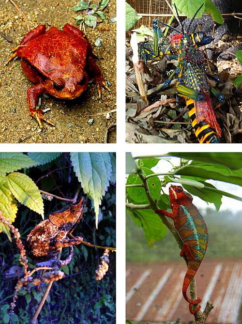 Colorful chameleons, frogs and crickets at Peyrieras Reserve