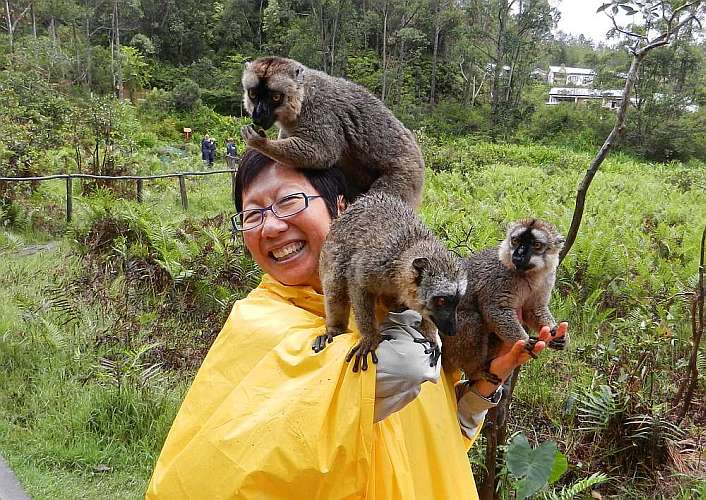 Brown lemurs on Lemur Island