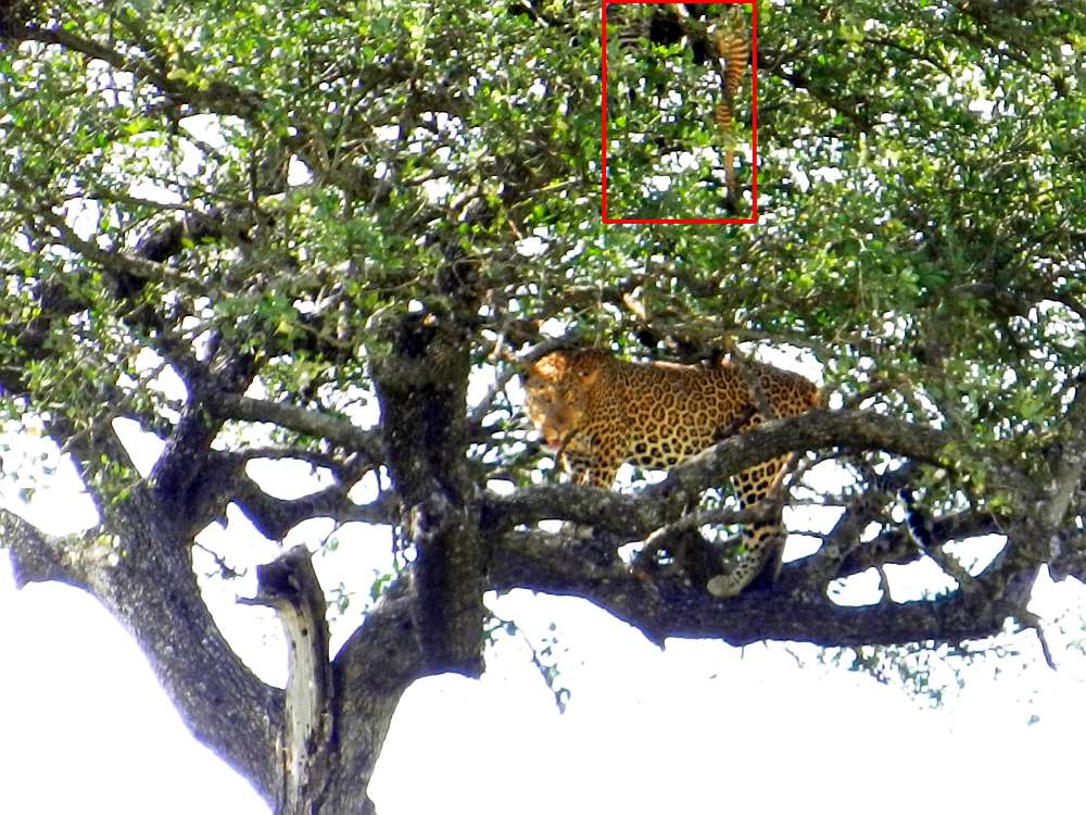 Leopard with zebra carcass in tree