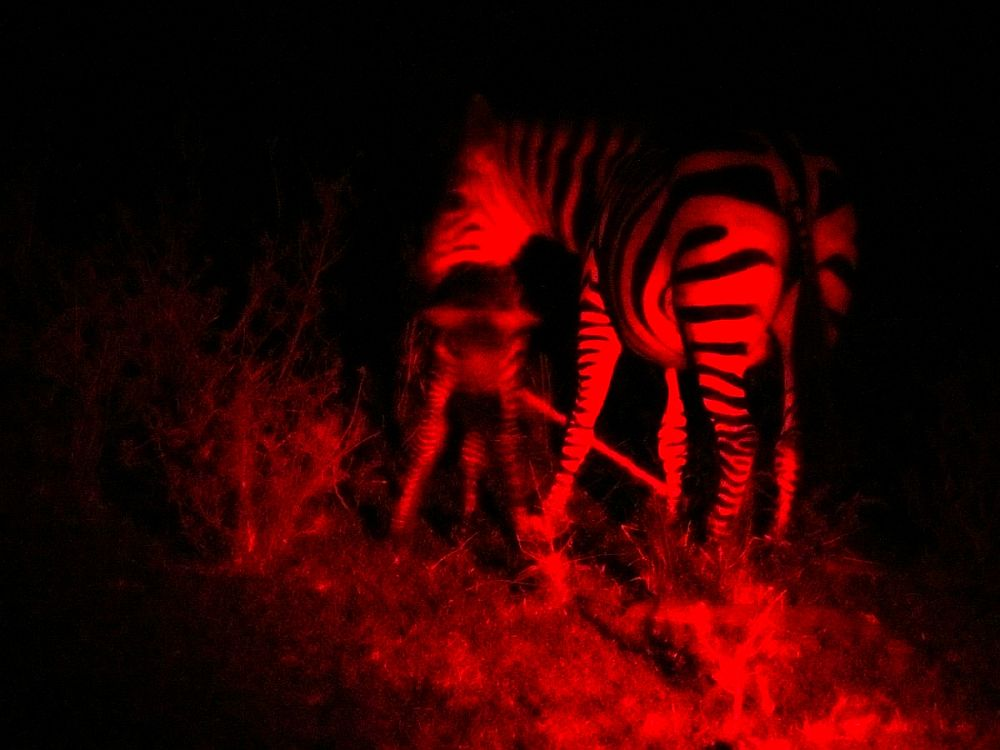 Night safari viewing zebra birthing with red spotlight