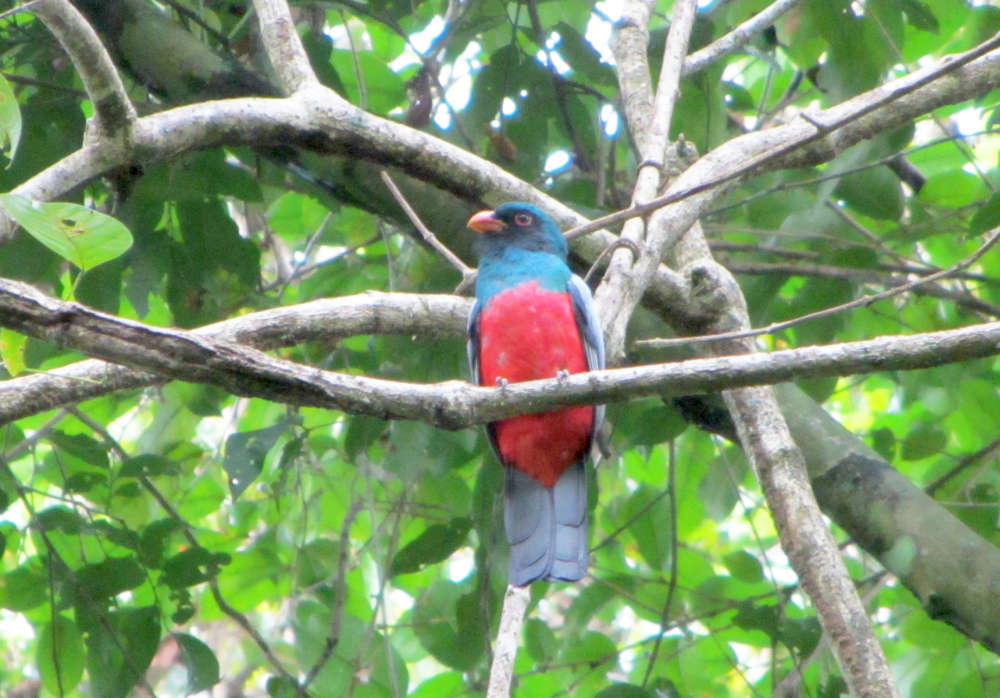 A colorful bird in a park in Panama