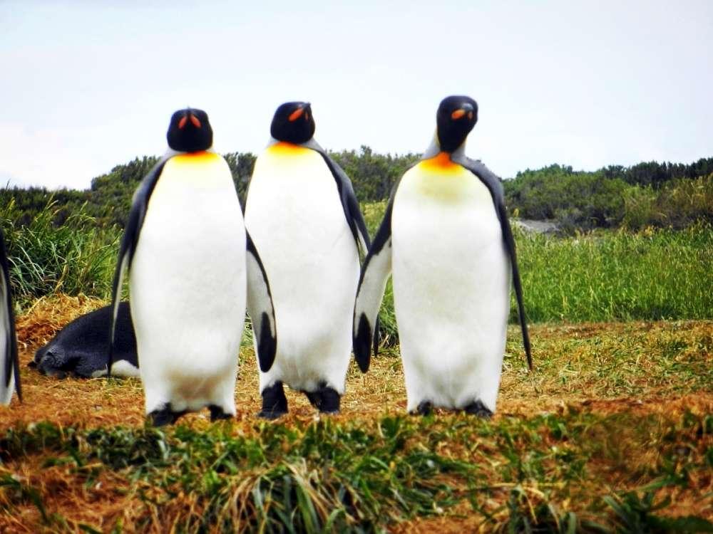 3 King Penguins