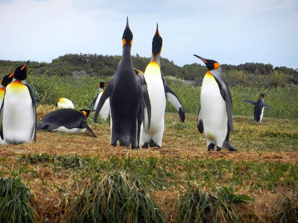 A displaying pair of King Penguins.