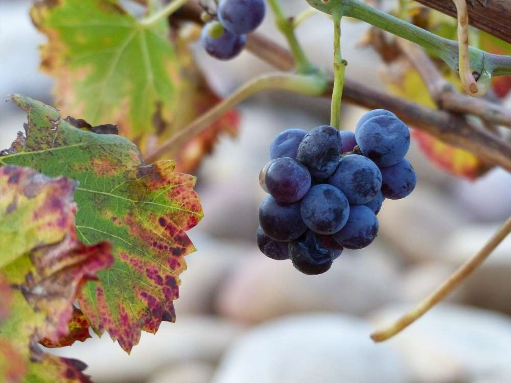 Grapes in a Chateauneuf-du-Pape winery