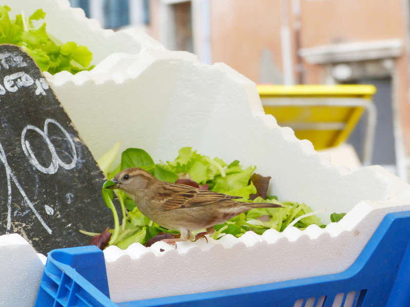 A sparrow trying to steal some salad greens in Rialto Market, Venice
