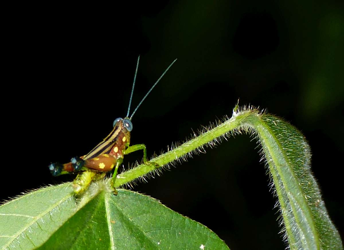 A brown and yellow spotted insect with blue eyes and antenna in night tour