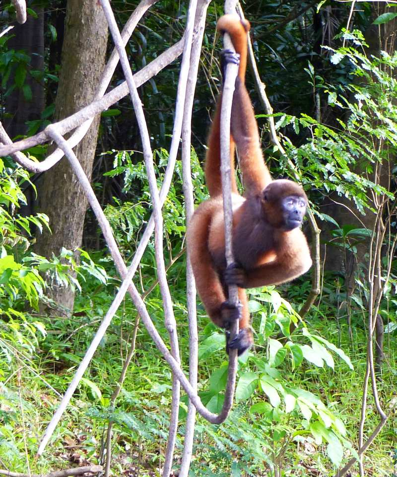 Yellow-tailed woolly monkey hanging from the vines