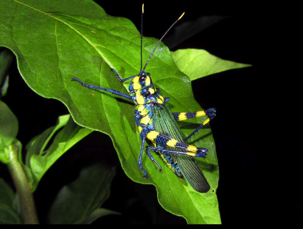 A colorful blue and yellow cricket-like insect from the night tour