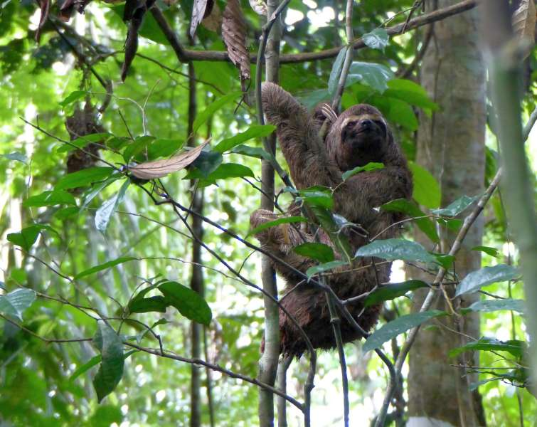 A three-toed sloth in a tree