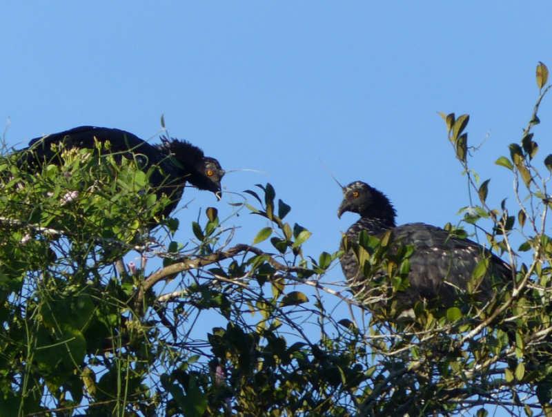 Amazon Dorado River Horned Screamers