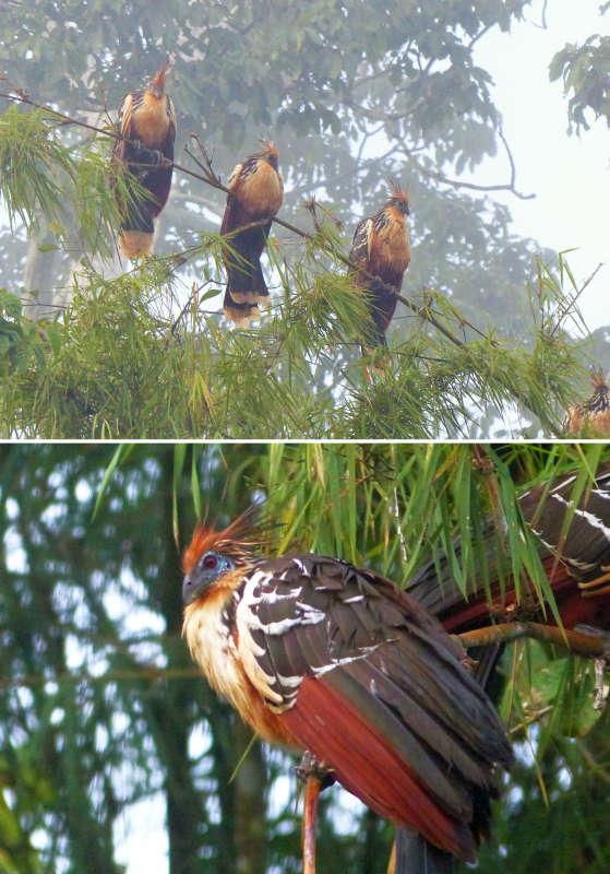 Amazon Hoatzin birds