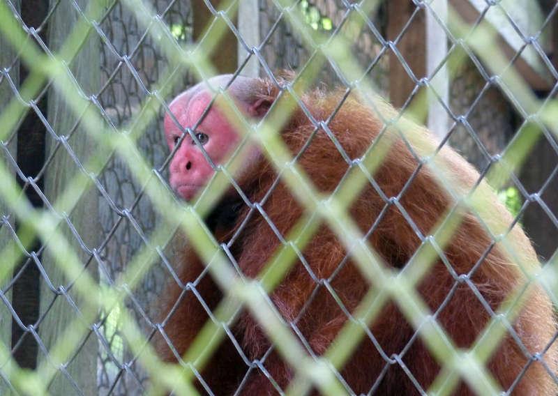 Amazon Rescue Center bald uakari