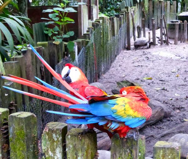 Macaws at the Amazon Rescue Center Iquitos-Nauta
