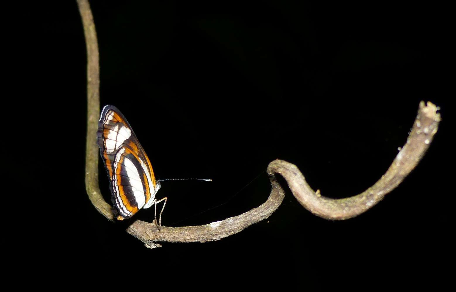 A butterfly sleeping on a branch