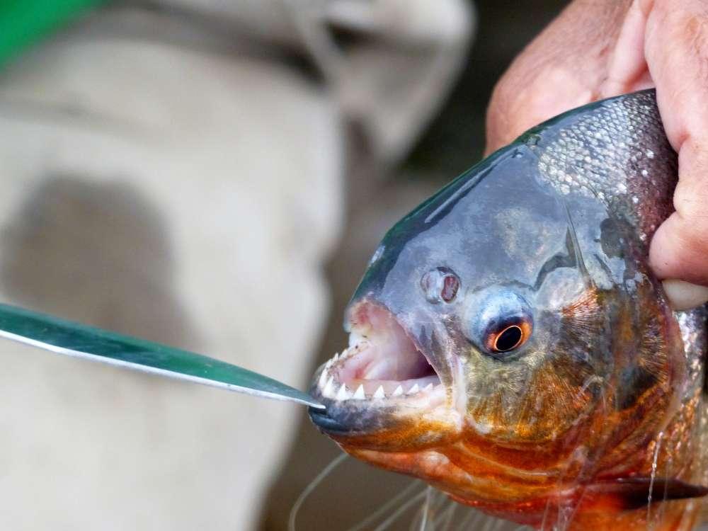 A piranha
