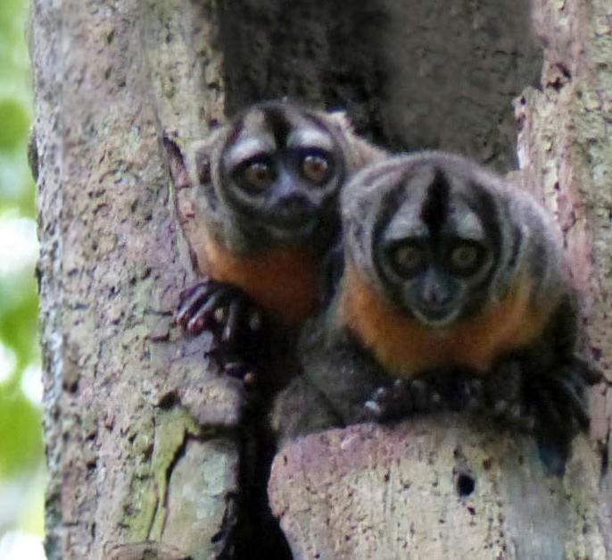 Amazon night monkey in tree nest
