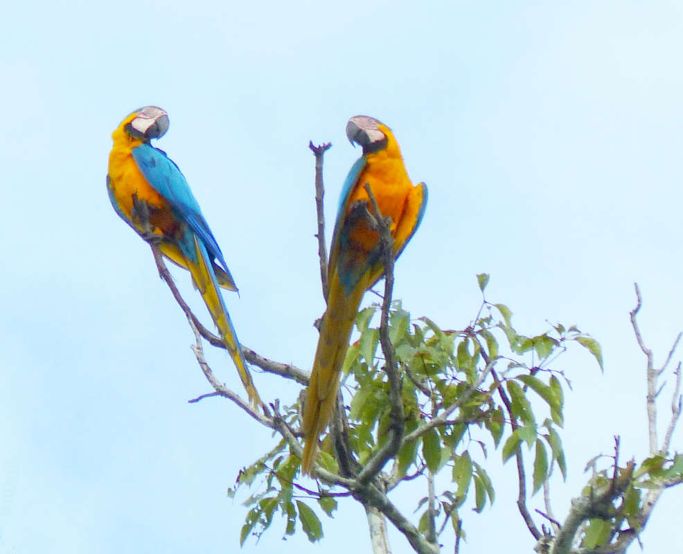 Blue and Yellow Macaws perched on a tree top