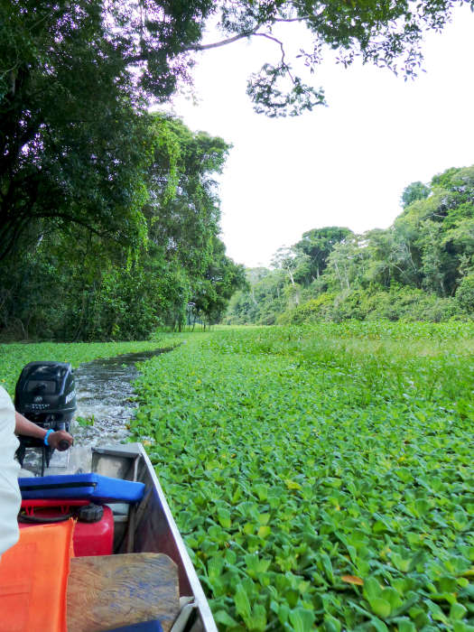 Boat navigating the aquatic weed choked Amazon River